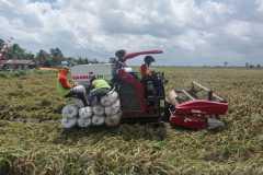 Panen padi Katingan hasilkan 100.560 ton GKG